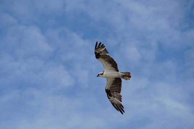 DSC06933-osprey