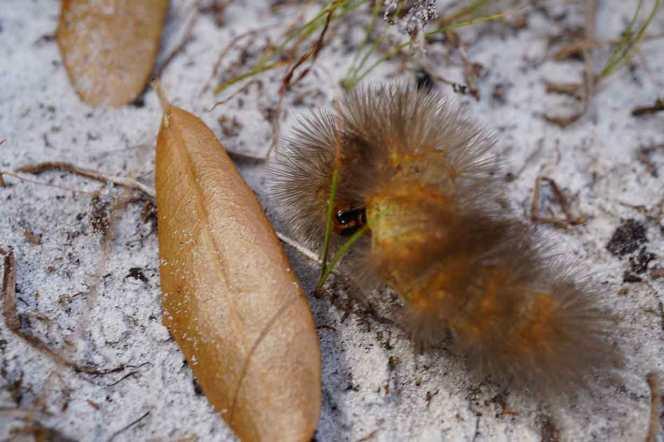DSC07310-caterpillar-licking-back