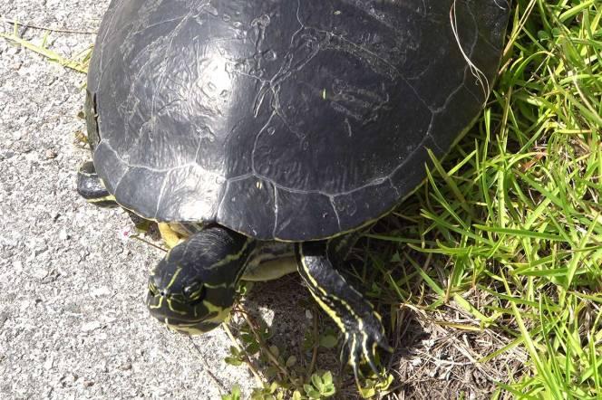 11-turtle2