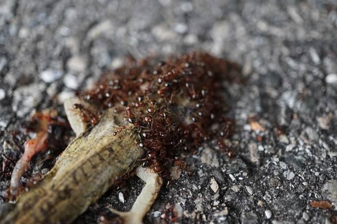 3-DSC02174-dead-anole-ants