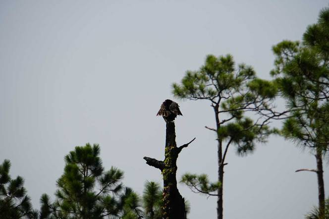 8-DSC01893-vulture-tree