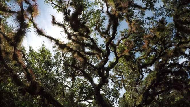 9-myakka-canopy-live-oak
